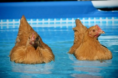 swimming chickens.jpg